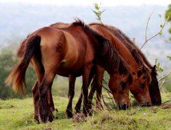 Cerita Unik di Balik Kuda Liar Sumbawa, Ternyata…