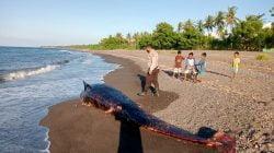 Petugas dari Polsek Bayan Lombok Utara mengecek kondisi bangkapi paus yang terdampar di perairan Desa Sukadana. Pihak kepolisian meminta anak-anak yang bermain tidak terlalu dekat dan tidak kontak dengan bangkai paus yang sudah mengeluarkan bau busuk. Foto : Polsek Bayan
